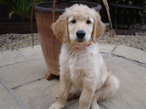 your doodle puppy year goldendoodle puppy f2 boy available now weston