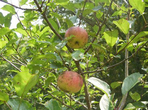 tennessee fruit trees fruit tree nursery tennessee thenurseries