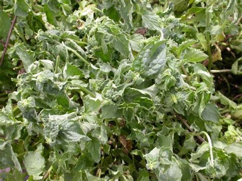 herb garden pest herb problems outdoors