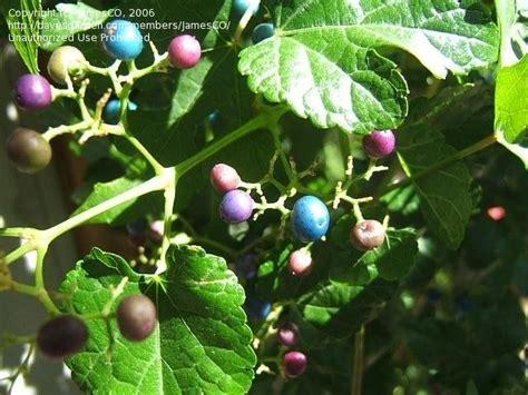 Berry Botanic Garden Plantfiles Pictures Elopsis Species Porcelain Berry Vine Amur Peppervine Elopsis