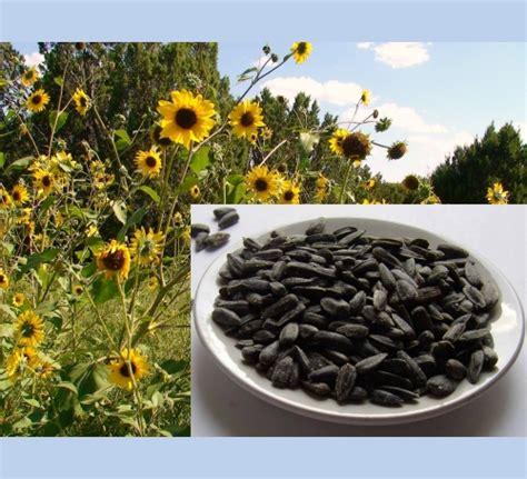 organic black sunflower seeds for chickens black sunflower seed the bird