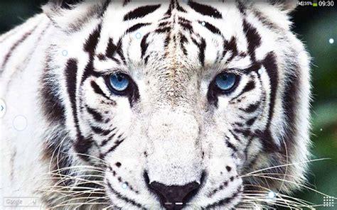 imagenes ojos de tigre fondo de pantalla con ojo de tigre imagui