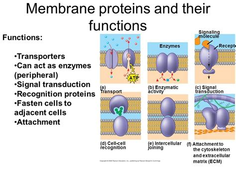 5 proteins and their functions membrane structure and function ppt