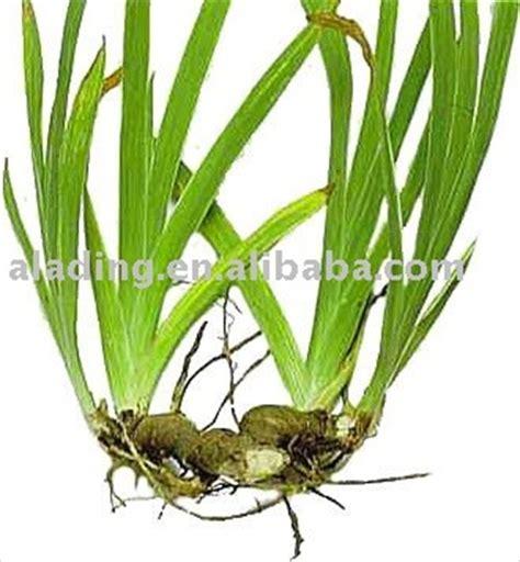 lalang grass herbs bf1