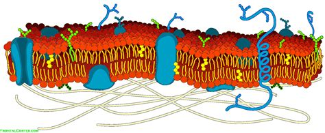 image cell membrane detailed diagram