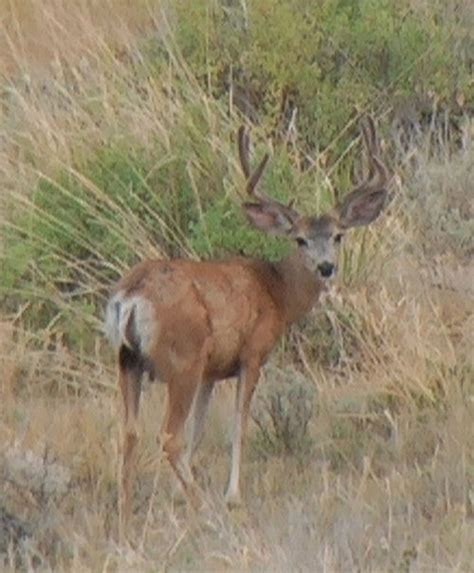 When Do Blacktail Deer Shed Their Antlers by Photos From South Creek Outfitters Monstermuleys