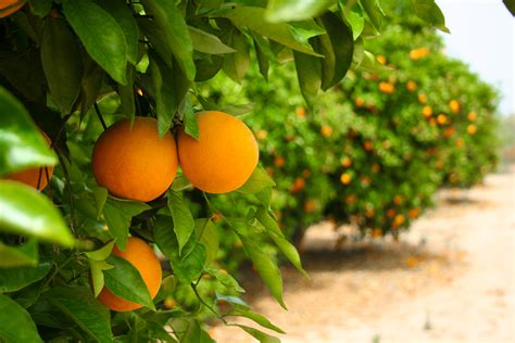 tree with small orange fruit bigstock orange tree 13699937