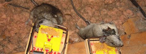 best poison for mice in attic best way get rid mice attic home safe