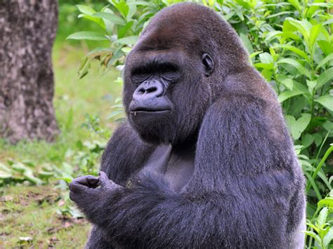 Facts about Gorillas - Gorilla Facts and Information