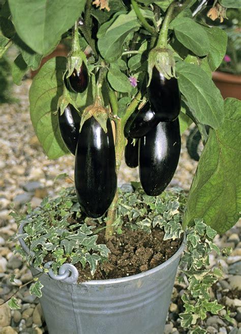 eggplant in container garden