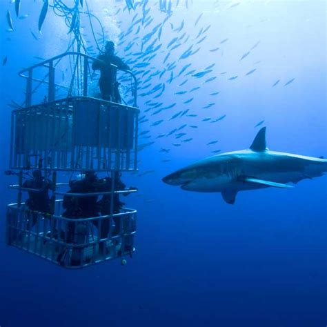 dive shark shark diving holidays dive worldwide