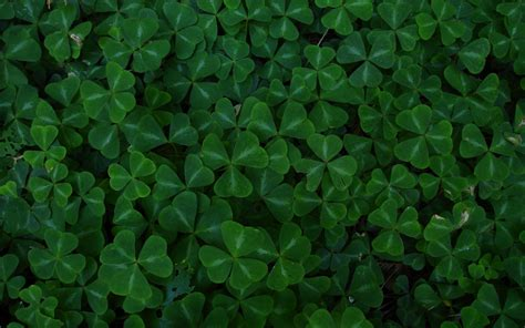 green leaf clover  hd wallpapers