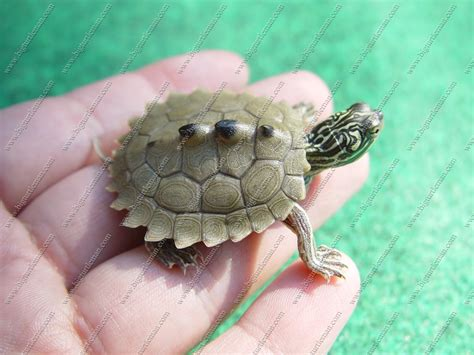 Black Knobbed Map Turtle For Sale by 26 Fantastic Baby Mississippi Map Turtle Swimnova