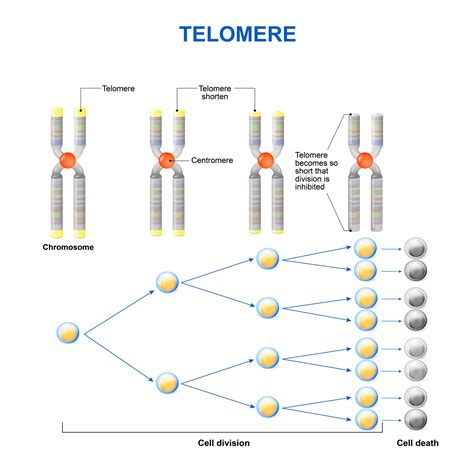 what are telomeres telomere learning center what is a telomere and what do telomeres do nanalyze nanalyze