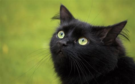of a black cat beautiful black cat hd pictures wallpapers 2013