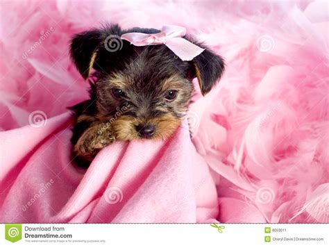 yorkie puppy biting all the time terrier puppy with pink background stock image image 8053011