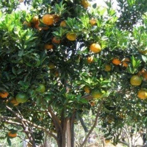 Jual Bibit Jeruk Bonsai jual bibit unggul tanaman jeruk keprok siam bibit