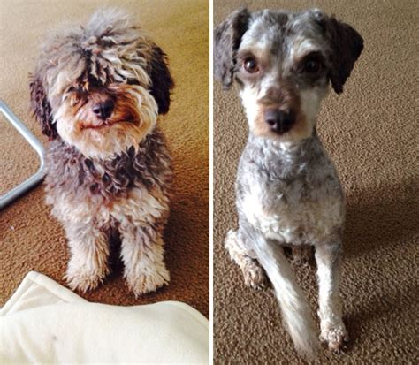 aussiedoodle haircuts dogs before and after their haircuts 15 pics page 2 of 6