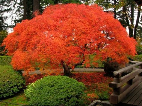 japanese maple 2 nw show trees pinterest