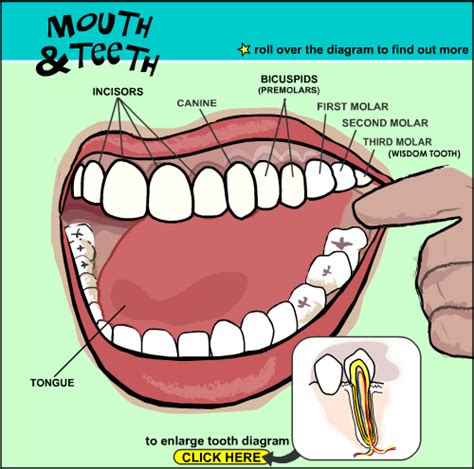 teeth diagram ks2 and teeth interactive tools help parents and
