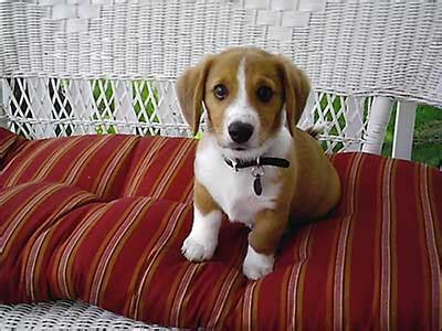 are corgi beagle mix pups really great family pets for new