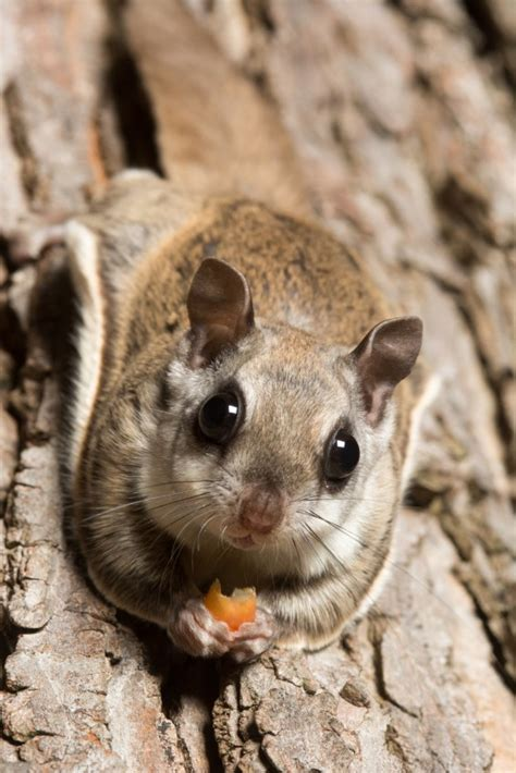 flying squirrel removal in brunswick va squirrels in the