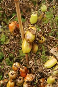 Climbing Plants That Grow In Shade - potato and tomato blight rhs gardening