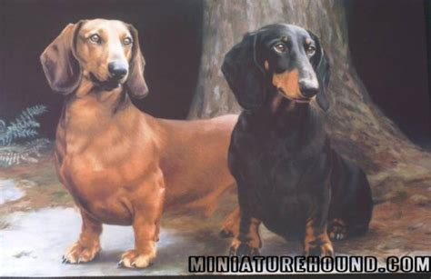 haired miniature dachshund puppies for sale mini dachshund puppies for sale doxie breeder hair pups