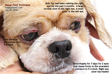 shih tzu nasal problems 20100619dental scaling health care problems in singapore dogs fistula oronasal dog