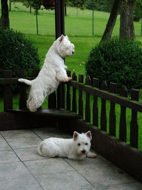 Do West Highland Terriers Shed by 693 Best Images About Westies On Cairn