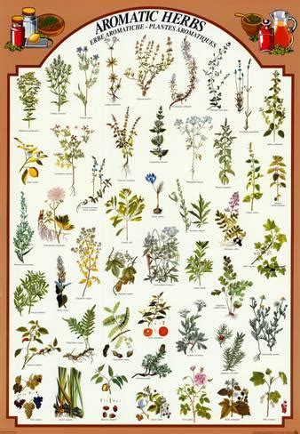 all poster fiori erbe aromatiche ste su allposters it