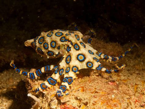 Picture Of A Blue Ring by Blue Ringed Octopus Facts Habitat Cycle Venom
