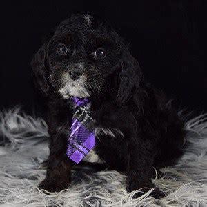 cavapoo puppies for sale in va cavapoo puppy for sale blitzen puppies for sale in pa va ri ct