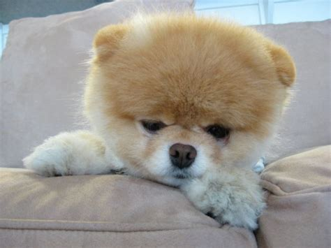 boo pomeranian meet boo the cutest pomeranian damn cool pictures