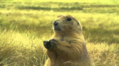 tower dogs s tower prairie dogs