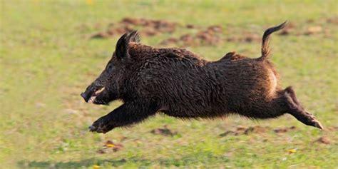 imagenes de animales jabali uruguay and it s curiosities uruguay y sus curiosidades