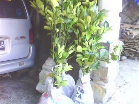 Jual Bibit Bebek Bali jual bibit jeruk bali madu pamelo buahnya aneka