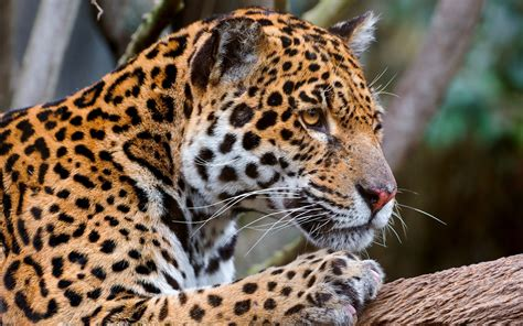 jaguar and cat jaguar predator big cat jpg 2559 215 1600 big cats