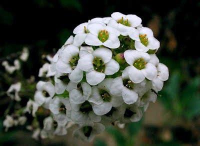 Biji Bunga Sweet Alyssum bunga bungaan harum untuk halaman myrokan