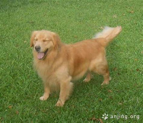 anjing golden retriever golden retriever dewasa indukan anjing org