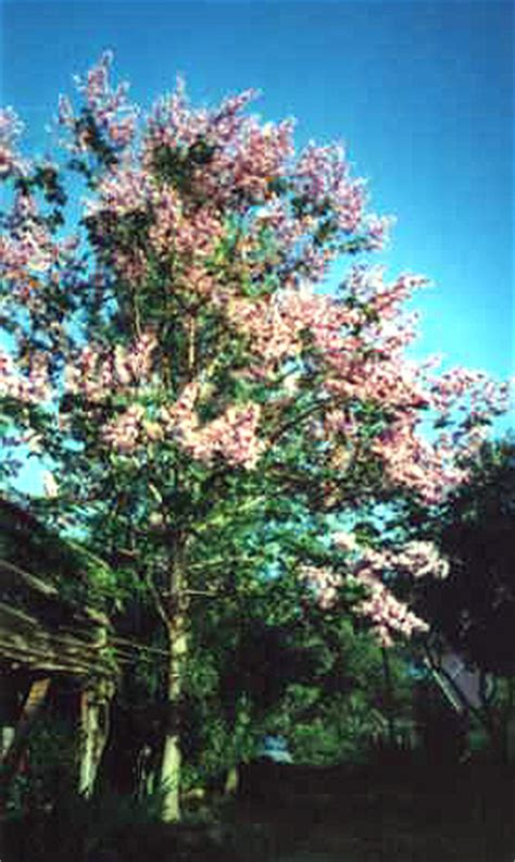 fast growing flowering shrubs paulownia tree store fast growing flowering shade royal