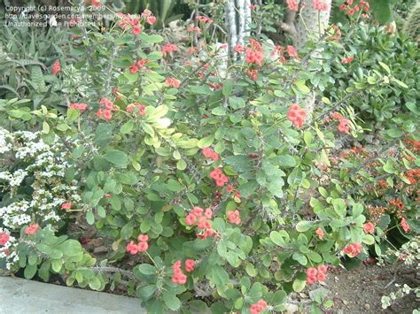 shrub identification by flower plant identification closed thorny shrub with clusters