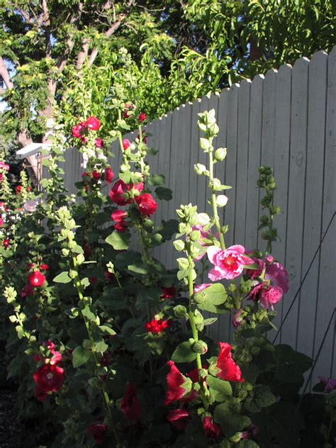 Cottage Garden Trees - how to grow hollyhock alcea flowers gardening channel