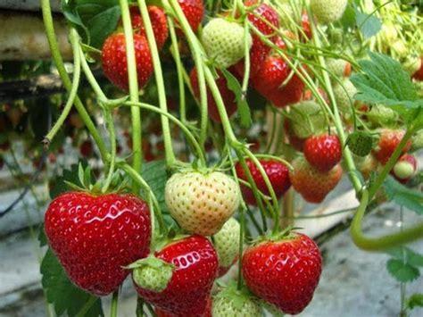 Jual Bibit Buah Stroberi jual bibit tanaman murah