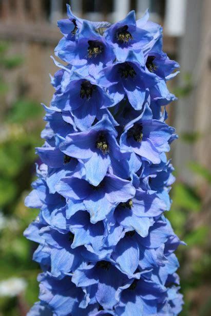 delphinium fiore blue delphinium immagine gratis domain pictures