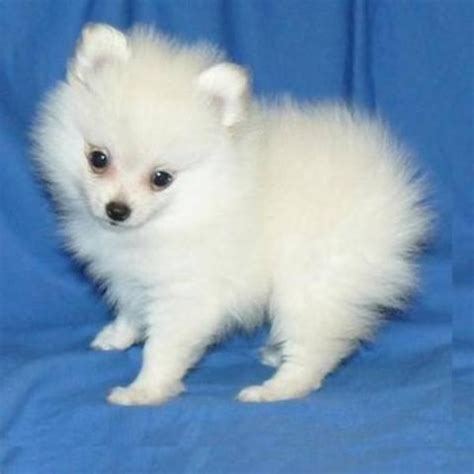 white pomeranian puppies for sale australia teacup puppies for sale australia yakaz for sale teacup pomeranian ilove teacup