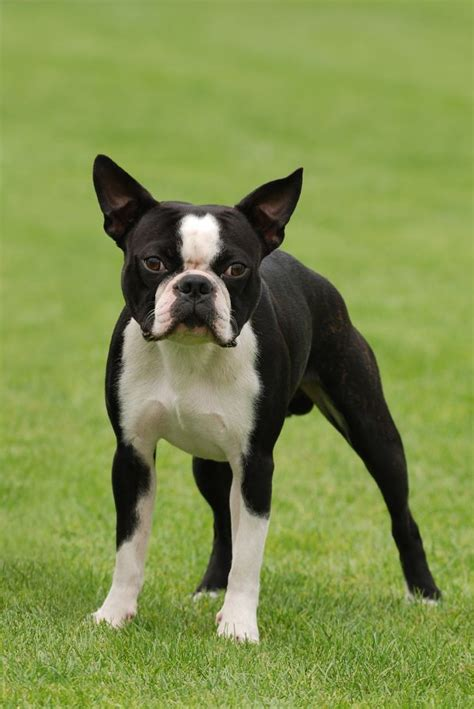 puppy boston terrier boston terrier the of animals