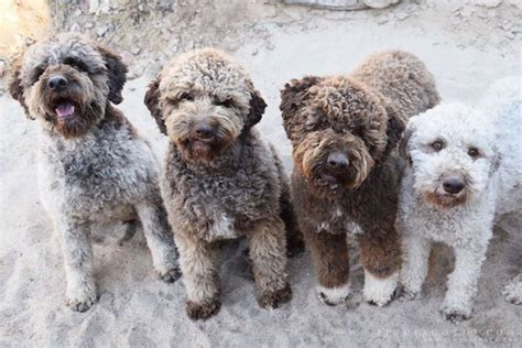 lagotto romagnolo puppies for sale dogs for homes lagotto romagnolo puppies for sale