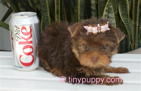 my teacup yorkie photo gallery of tinypuppy teacup yorkie puppies tinypuppy