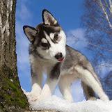 Cute Husky In Snow | 600 x 600 jpeg 74kB